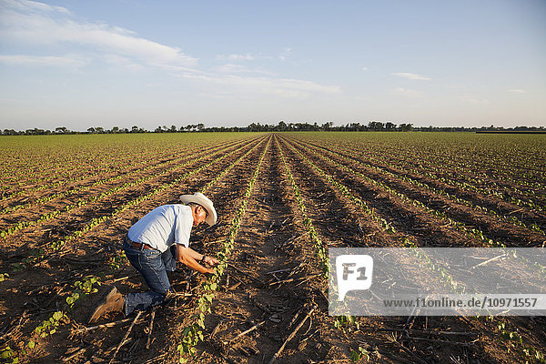 Crop consultant checking plants and conditions of farmland  no till cotton at the seedling stage where corn was previous crop; England  Arkansas  United States of America