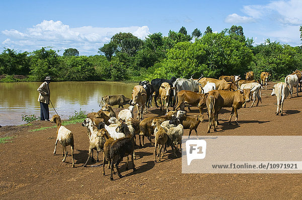 Livestock - An African herdsman drives native cows and goats on a dusty road near a watering hole / Kenya  Africa.