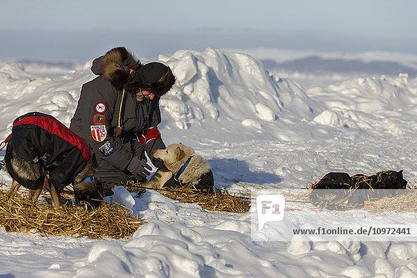 Volunteer vet examines a Kristie Berington dog at Shaktoolik during Iditarod 2015.