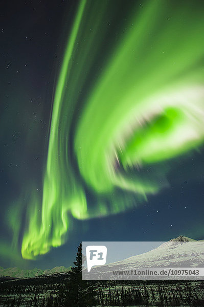 Aurora borealis over trees along the Denali Highway east of Cantwell  Alaska.