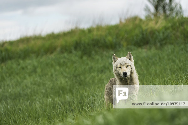 Young wolf in grasses in Kukak Bay  Katmai National Park & Preserve  Alaska.