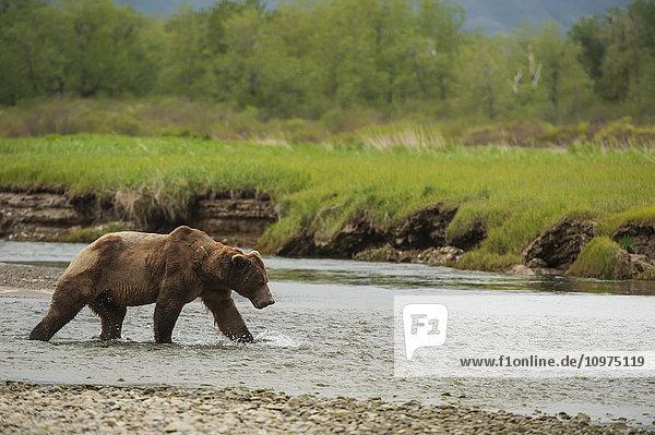 A large  battle-scarred brown bear boar crosses a stream in Kukak Bay  Katmai National Park & Preserve  Alaska.