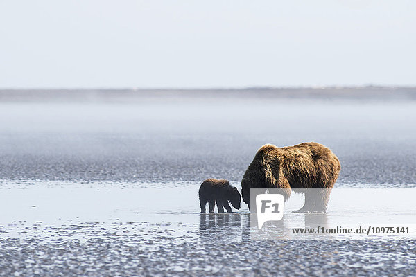 A brown bear sow and her spring cub dig for clams in the mudflats at low tide in Lake Clark National Park & Preserve  Alaska.
