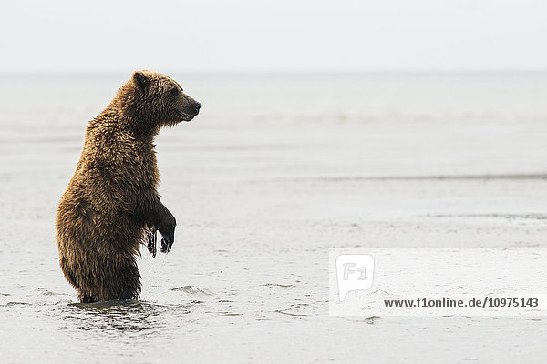 A brown bear sow stands upright as she looks for salmon in Lake Clark National Park & Preserve  Alaska.