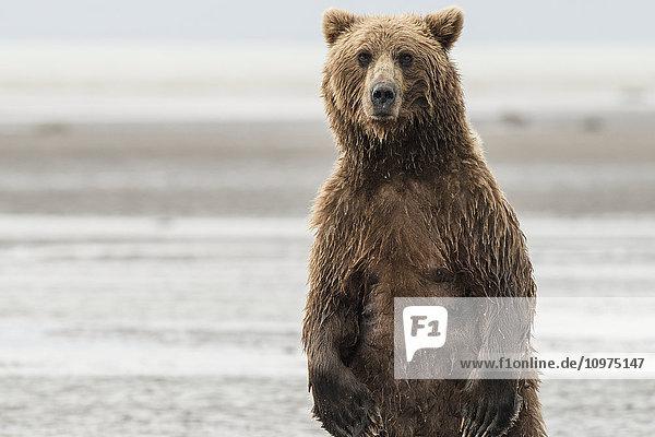 Alert Brown Bear sow as she is fishing for salmon  Lake Clark National Park & Preserve  Alaska