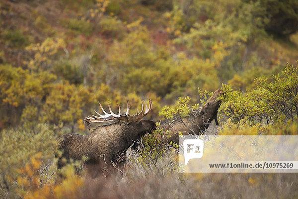 A bull moose shedding its velvet browses near a cow moose in Denali National Park & Preserve  Alaska.