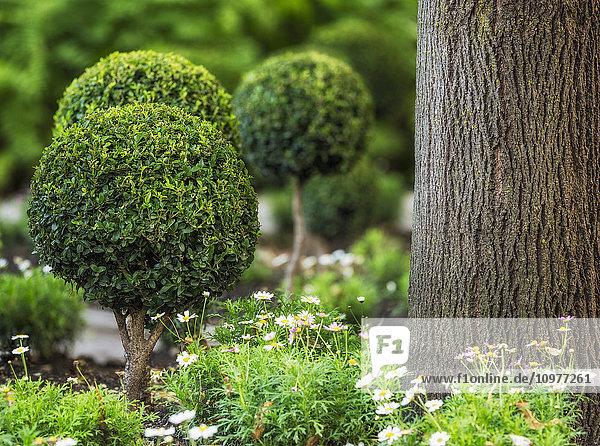 'Topiary in the English Garden of Assiniboine Park; Winnipeg  Manitoba  Canada'