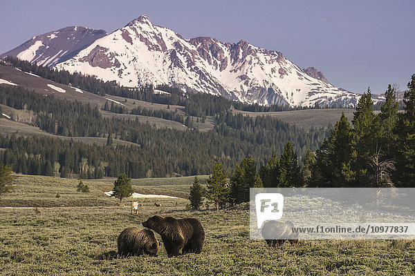 'A brown bear (Ursus arctos) sow and two cubs browse in a field in the Gardners Hole area of Yellowstone National Park; Wyoming  United States of America'