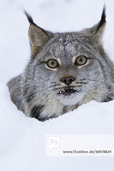 'Canadian Lynx Looking Over A Snowbank; Yukon  Canada'