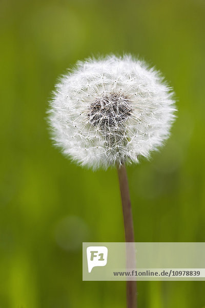 Dandelion weed  ready to seed  close up view