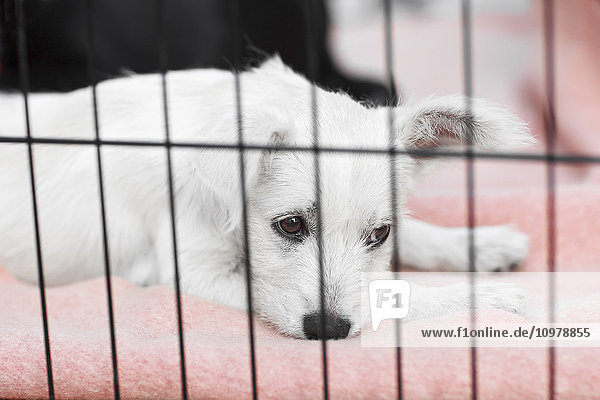 'Terrier puppy in a cage waiting to be adopted at an animal rescue shelter; Morden  Manitoba  Canada'