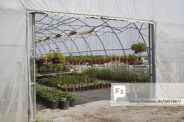 'Plant production inside a commercial greenhouse; Quebec  Canada'