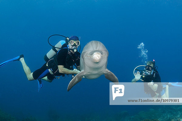 'Divers meet a trained Atlantic Bottlenose Dolphin (Tursiops truncatus) on the Sea Aquarium House Reef off the island of Curacao in the Netherlands Antilles,  Caribbean; Curacao'