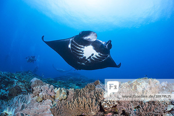 'Three reef manta rays (Manta alfredi) cruise over Manta Reef off the island of Kadavu; Kadavu  Fiji'