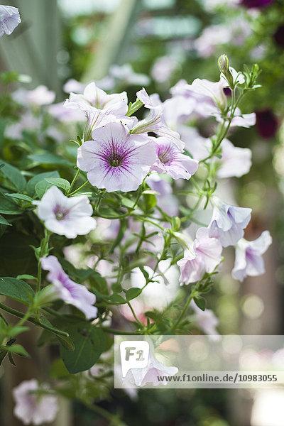 Nahaufnahme von Petunien  blühende Blumen