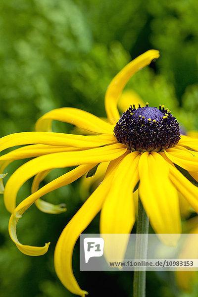 Blüte der mehrjährigen Sonnenhut  Nahaufnahme