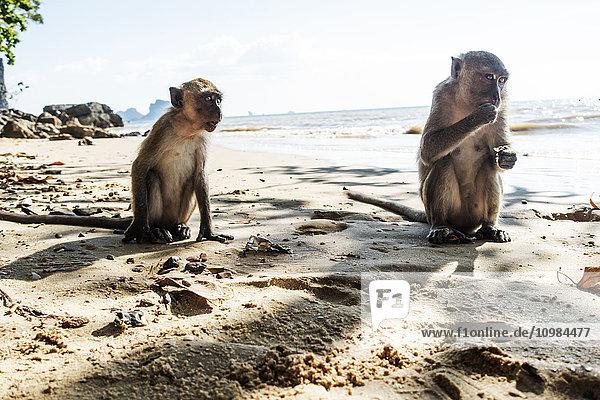 Thailand  Ao Nang  zwei Makaken am Strand sitzend