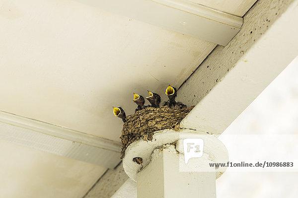 Vier hungrige junge Schwalben im Nest Vier hungrige junge Schwalben im Nest