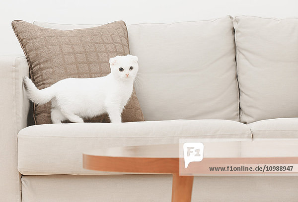 Scottish fold cat in the living room