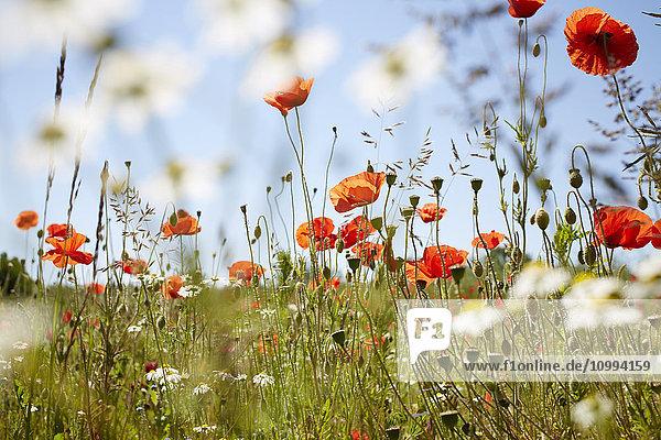 Red Field Poppies and Camomile in Meadow in Summer  Denmark