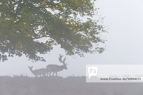 Male and Female Fallow Deer (Cervus dama) on Misty Morning  Hesse  Germany