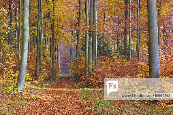 Path through European Beech (Fagus sylvatica) Forest in Autumn  Spessart  Bavaria  Germany