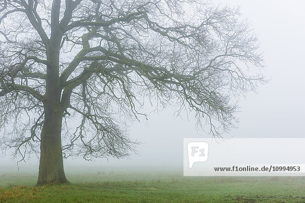 Old English Oak Tree (Quercus robur) in Morning Mist  Hesse  Germany