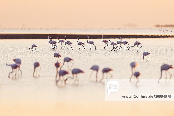 Greater Flamingos (Phoenicopterus roseus) at Sunrise  Saintes-Maries-de-la-Mer  Parc Naturel Regional de Camargue  France