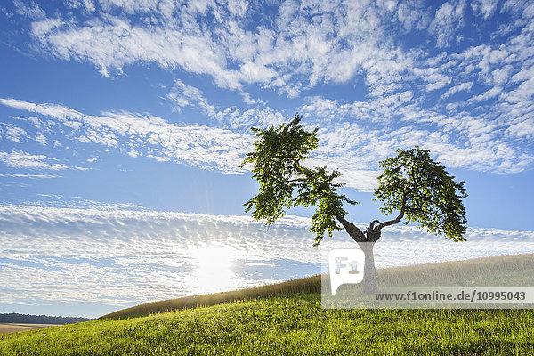 Lone Tree in Meadow with Sun in Summer  Reichartshausen  Miltenberg District  Bavaria  Germany