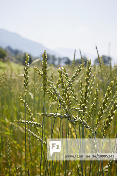 Close-up of Grain Field in Summer  Carinthia  Austria