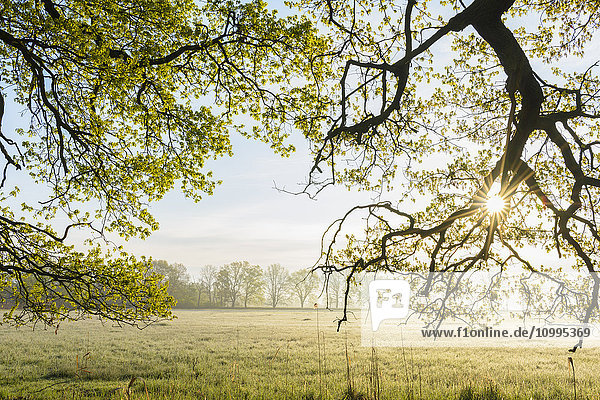 Sun through Branches of Oak Tree in Spring  Hesse  Germany