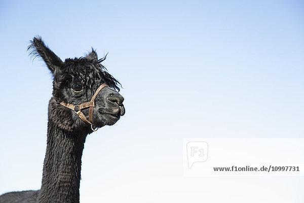 Portrait of alpaca (Vicugna pacos) against blue sky