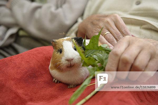 Tiergestützte Intervention mit Meerschweinchen im Seniorenheim