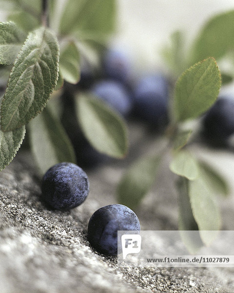Sloes  close-up.