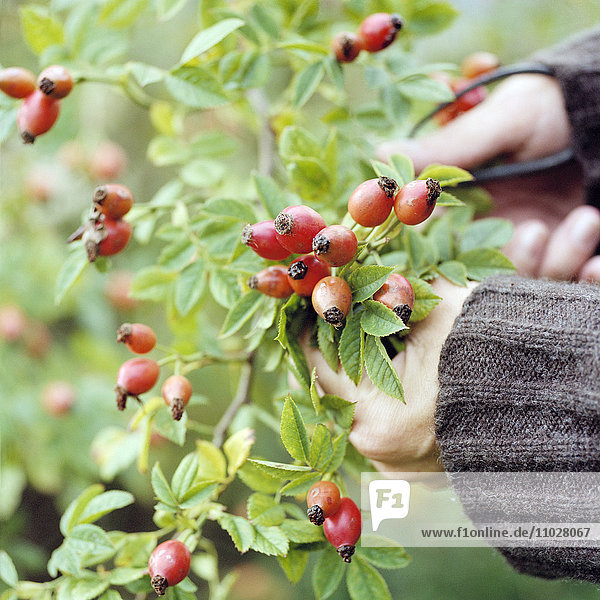 Rose Hips being Picked.