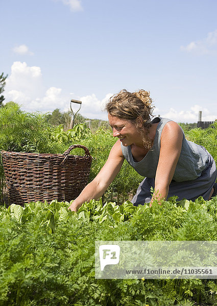 A woman harvesting among plants.