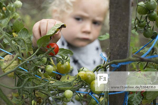 Kleines Mädchen pflückt Kirschtomaten aus dem Gemüsegarten