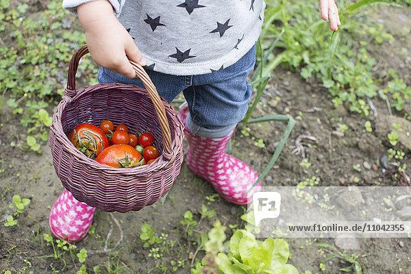 Kindertragekorb mit frisch gepflückten Kirschtomaten