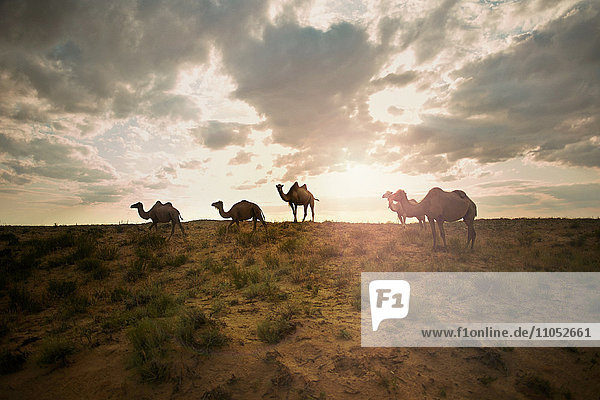 Camels in field at sunset