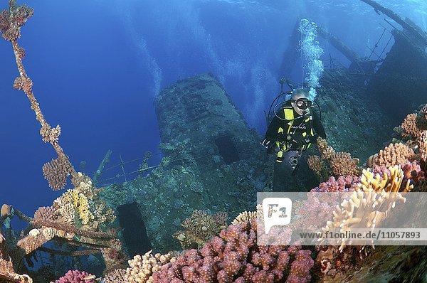 Taucher am Schiffswrack Gianis D  Rotes Meer  Sharm el Sheikh  Ägypten  Afrika