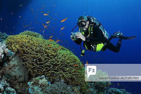Taucher fotografiert Korallenriff,  Rotes Meer,  Ägypten,  Afrika