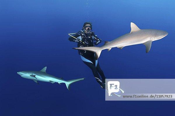 Junge weibliche Taucherin im Wasser neben zwei grauen Riffhaien (Carcharhinus amblyrhynchos),  Indischer Ozean,  Malediven,  Asien