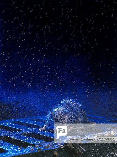 Wanderratte (Rattus norvegicus)  Kanaldeckel  Regen  Nacht