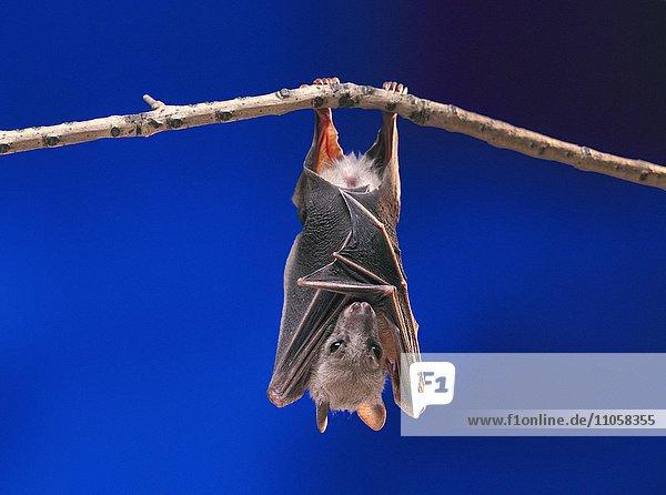 Flughund (Pteropus medius) ruht kopfüber an Ast hängend