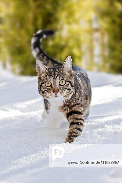 Katze läuft durch frischen Schnee  Bayern  Deutschland  Europa