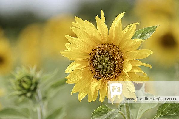 Sonnenblume (Helianthus annuus)  blühend  Baden-Württemberg  Deutschland  Europa