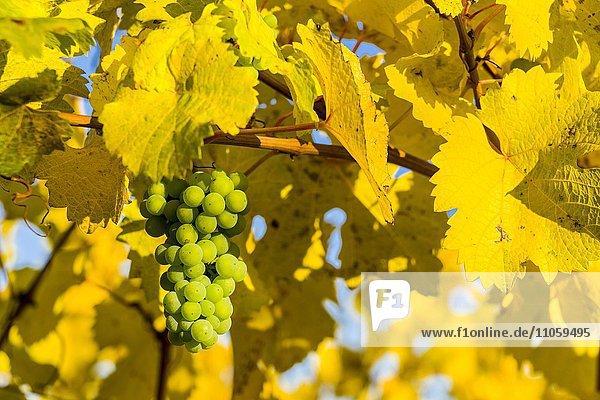 Weißweintrauben mit gelben Weinblätter im Herbst  bei Ochsenfurt  Bayern  Deutschland  Europa