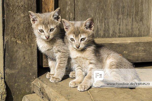 Junge Katzen  Kätzchen  sitzen am Boden  Bung  Solo Khumbu  Nepal  Asien