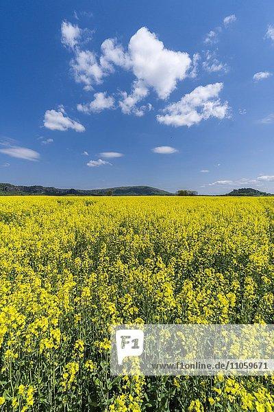 Landwirtschaftliche Landschaft mit Rapsfeld und blauem bewölkten Himmel  Reinhardsdorf  Sachsen  Deutschland  Europa