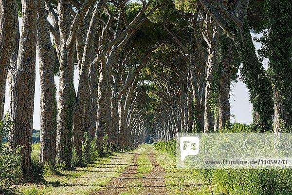 Allee mit grünen Kiefern  San Vincento  Toskana  Italien  Europa